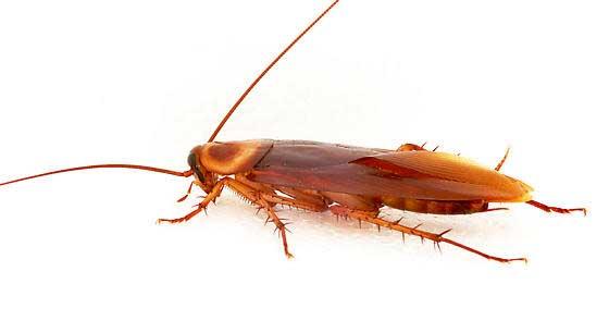 ¿ Cuáles son los venenos más eficaces para las cucarachas ?