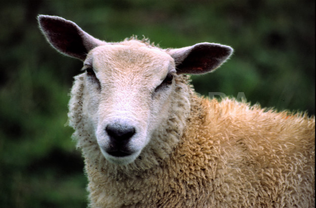 Sheep Face Close Up