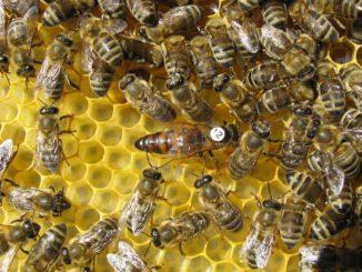 ¿Cómo es la abeja reina?