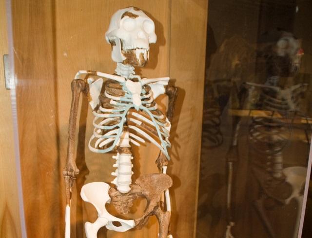 Lucy, uno de los ejemplos más famosos de la reconstrucción evolutiva del hombre.