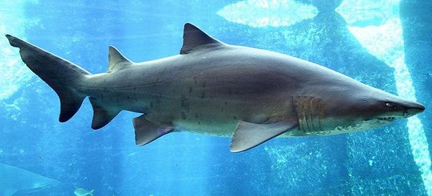 1. El tiburón toro