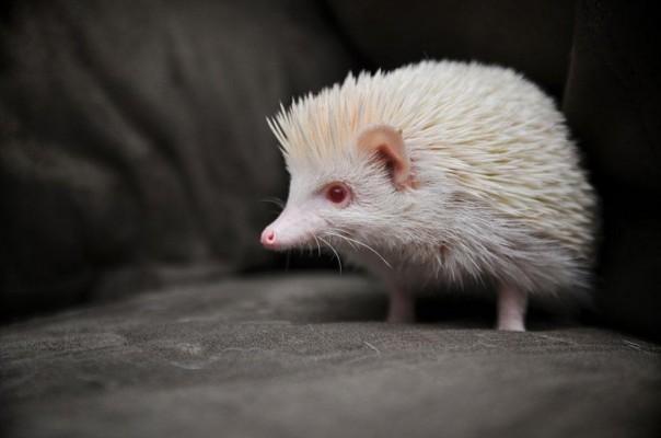 1. Erizo Albino