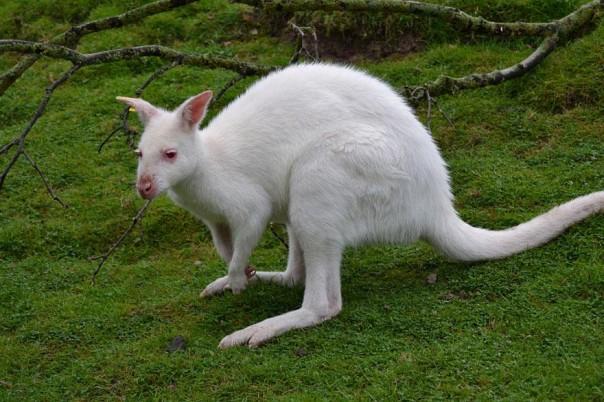3. Canguro Albino