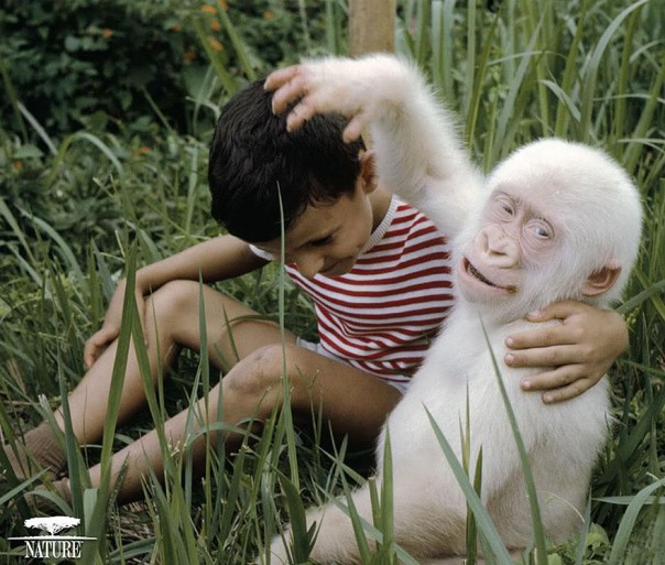 4. Gorila Albino