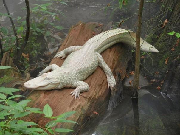 6. Cocodrilo Albino