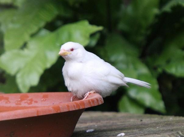 7. Gorrión Albino