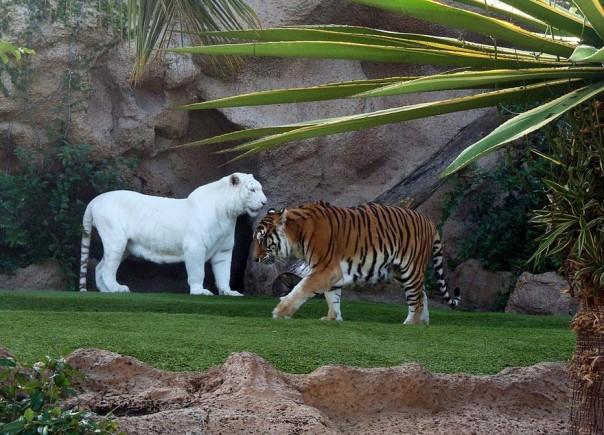 9. Tigre Blanco